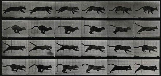A-cat-running.-Photogravure-after-Eadweard-Muybridge-1887-CC-BY-NC