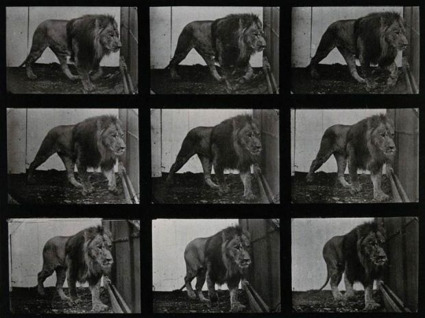 A-lion-prowling.-Photogravure-after-Eadweard-Muybridge-1887-CC-BY-NC