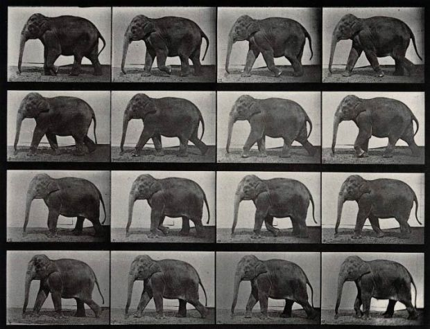 An-elephant-walking.-Photogravure-after-Eadweard-Muybridge-CC-BY-NC