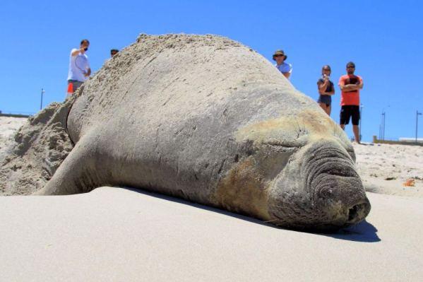 elefante marino spiaggiato australia