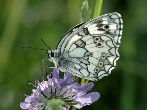 Farfalla-8001