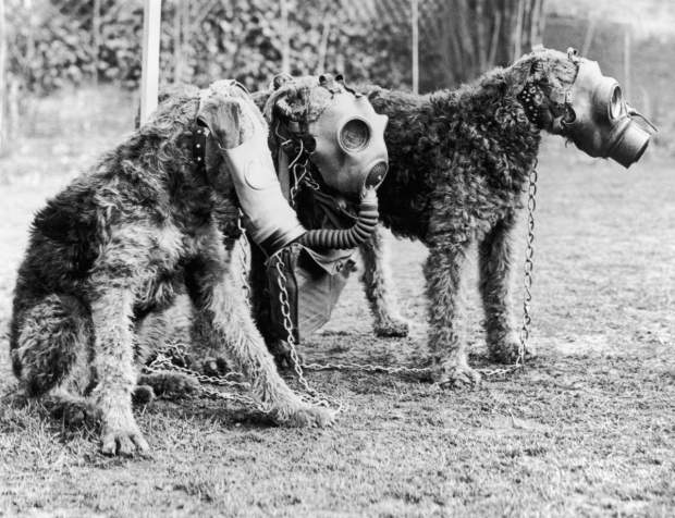 1939: Three Airedale dogs wearing their special gas masks at a Surrey kennel. They are being trained by Lt Col E. H. Richardson. (Photo by Keystone/Getty Images)