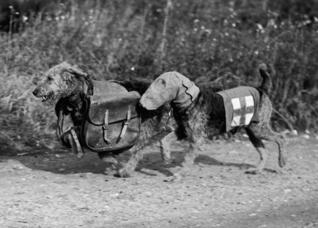 Two Airedale terriers at Lt. Colonel E. H. Richardson's canine training camp in Woking, Surrey, during World War II, 16th October 1939. One dog wears a special gas mask and the other carries rations for a wounded soldier. (Photo by Fox Photos/Hulton Archive/Getty Images)