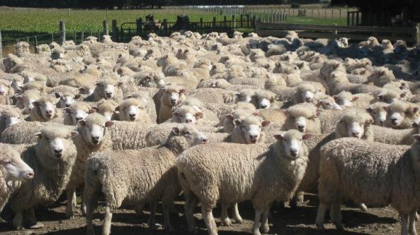 Gregge-di-pecore-nel-recinto