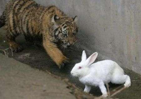 tigre-coniglio-caccia