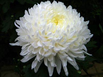 crisantemo-significato_ng2