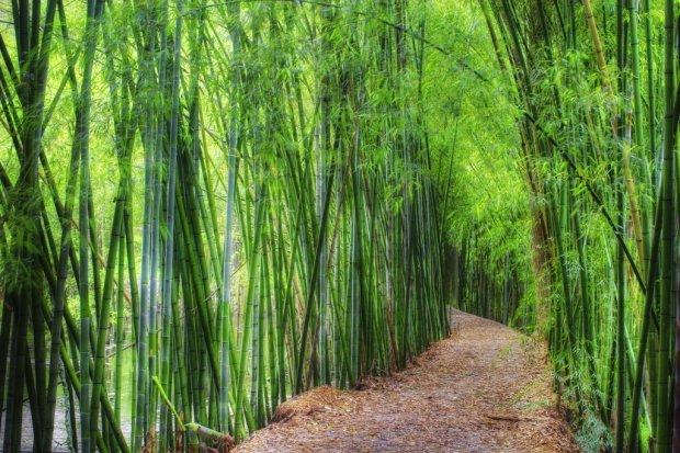 il-bambu-gigante