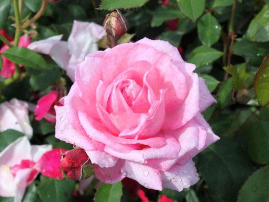 Strauchrose 'Flashlight'  ®      ADR-Rose - Rosa 'Flashlight'  ®  ADR-Rose