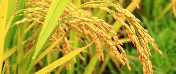 Golden-Rice-in-the-field-710px